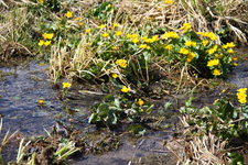 marsh marigold high moor oberjoch